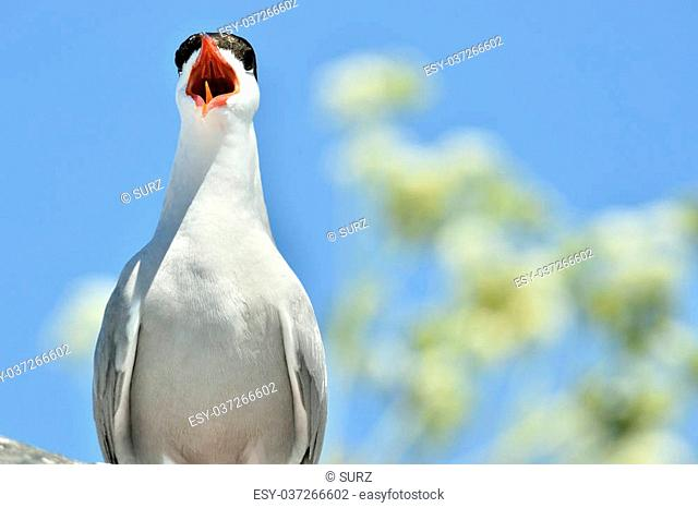 Close up Yelling The Common Tern (Sterna hirundo) on natural blue sky background./ The Common Tern (Sterna hirundo) is a seabird of the tern family Sternidae