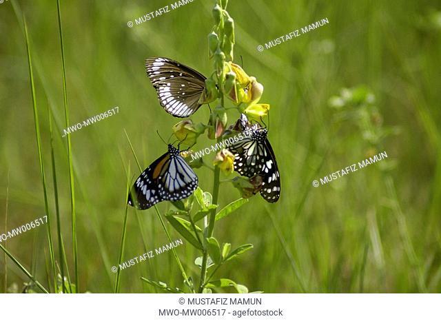 Three butterflies on wild flower Katka, Sundarban, Khulna, Bangladesh November 17, 2005