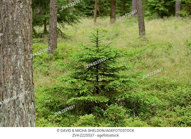 Close-up of a young Norway spruce (Picea abies) tree in a forest in early summer