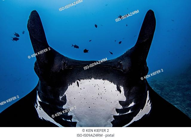 Close up cropped view of giant oceanic manta ray