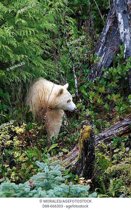 Kermode Bear (Ursus americanus kermodei). British Columbia, Canada