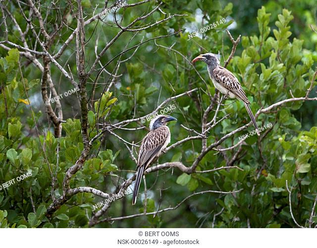 African Grey Hornbill (Tockus nasutus) male and female in bush, South Africa, Mpumalanga, Kruger National Park