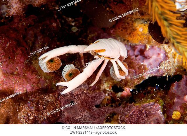 Baba's Squat Lobster (Allogalathea babai), Tatawa Kecil dive site, between Komodo and Flores islands, Komodo National Park, Indonesia
