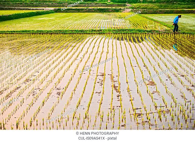 Rice field close to Seoraksan National Park, Gangwon, South Korea