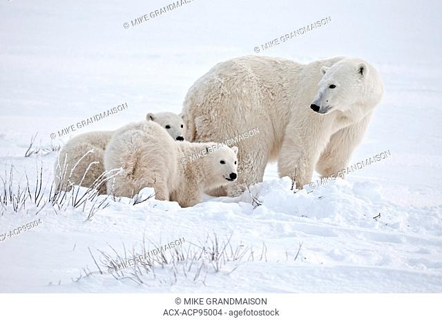 Polar bear sow and two cubs Ursus maritimus on frozen tundra, Churchill, Manitoba, Canada