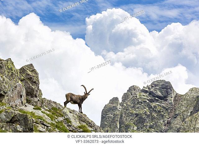 Alpine ibex on rocks, Pizzo dei Tre Signori, Gerola valley, Sondrio province, Valtellina, Lombardy, Italy