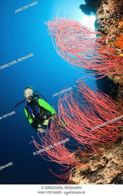 Scuba Diver, red Whip Corals, Ellisella sp., Wakaya, Lomaiviti, Fiji, Whip coral, Whip Corals, Sea Whip, Sea whip, Ellisella, Ellisellidae, Calcaxonia