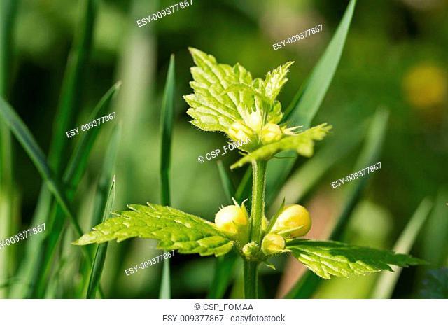 Deadnettle blooming closeup horizontal