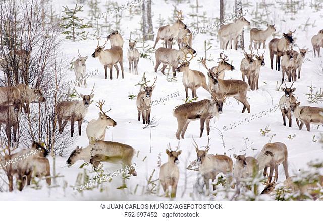 Reindeers. Oulu, Finland