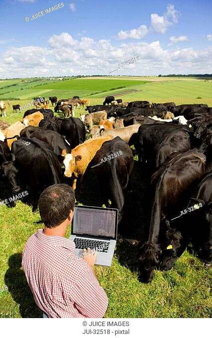 Farmer using laptop among cattle herd in sunny rural field