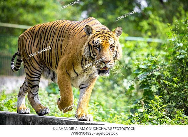 The Royal Bengal Tiger is the native animal of Bangladesh and it lives in Sundarbans, are in the east of Bangladesh. Dhaka Zoo is a Zoo located in the Mirpur...