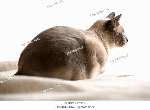 Siamese cat on bed