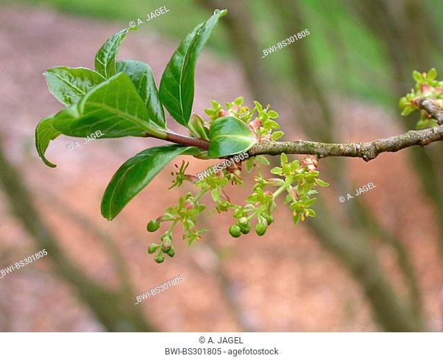 Orixa japonica (Orixa japonica), blooming branch