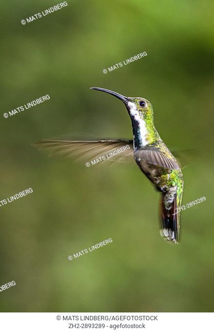 Female Green-breasted mango, Anthracothorax prevostii hovering, Laguna del Lagarto, Boca Tapada, San Carlos, Costa Rica
