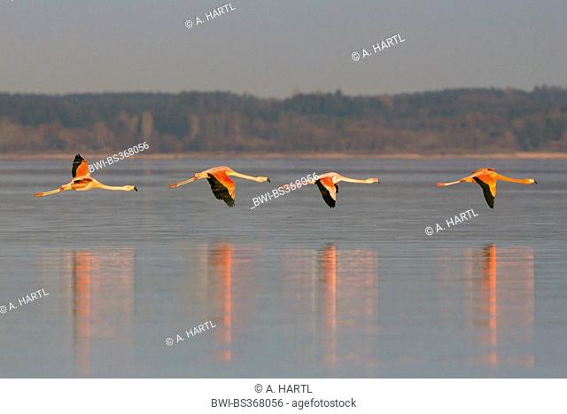 Greater flamingo, American flamingo, Caribbean Flamingo (Phoenicopterus ruber ruber), winter guests flying above a lake, Germany, Bavaria, Lake Chiemsee
