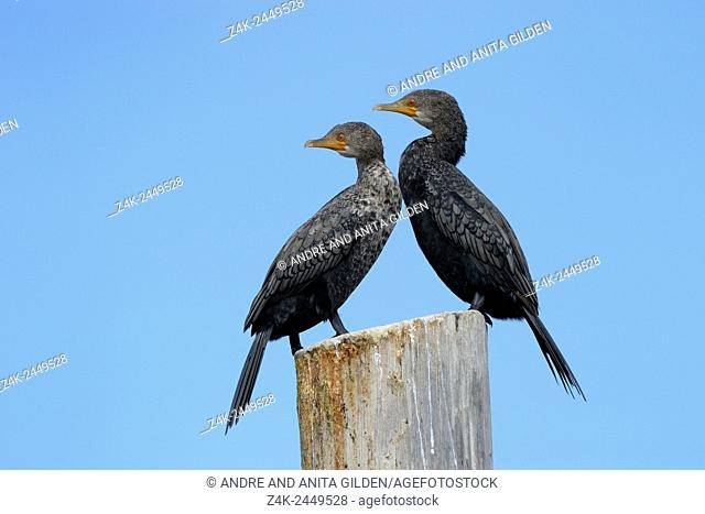 Two Cape Cormorants (Phalacrocorax capensis) perched on a pole, Walvisbaai, Namibia