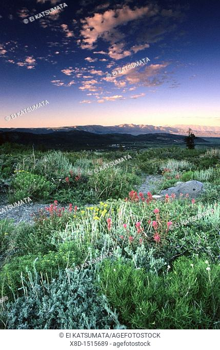 Summer wildflowers on Panorama Dome during twilight, Mammoth Lakes Basin, Inyo National Forest, California