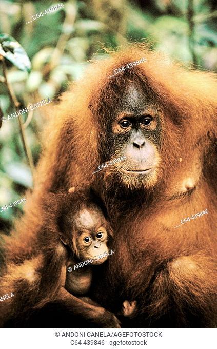 Orangutan (Pongo pygmaeus) with young. Gunung Leuser National Park. Sumatra. Indonesia