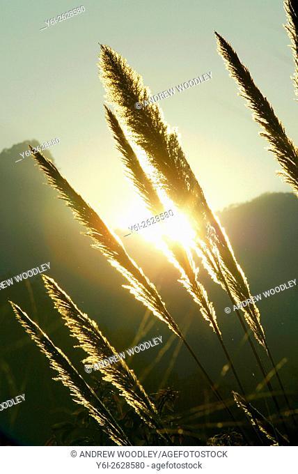 Sunset through long grasses north Thailand