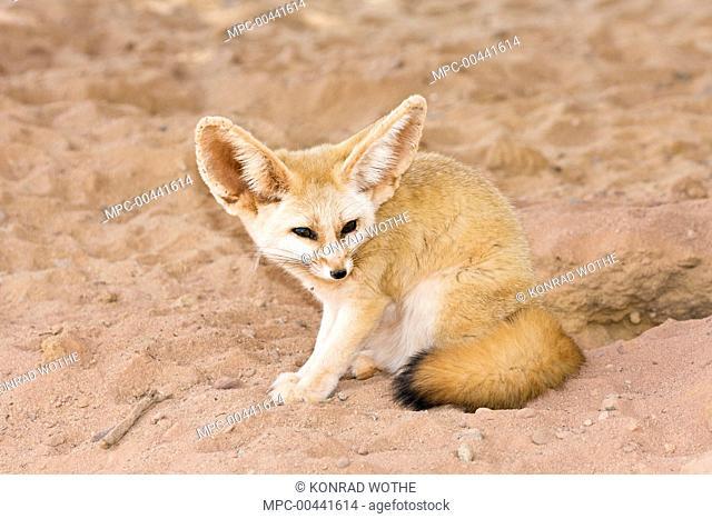 Fennec Fox (Vulpes zerda) near burrow, Libya