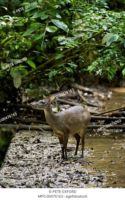 Gray Brocket (Mazama gouazoubira) female, Tiputini Biodiversity Station, Amazon Rainforest, Ecuador