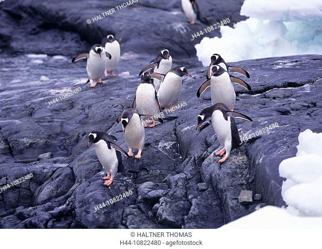 donkey penguin, Pygoscelis Papua, penguin, penguins, Antarctic, Antarctic, Antarctic Ocean, cruise, Danco Iceland