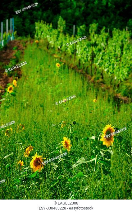 Fresh beautiful young yellow sunflowers near vineyard