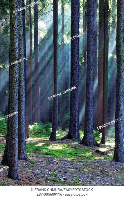 czech republic, southern bohemia - forest scene with sun rays shining through branches