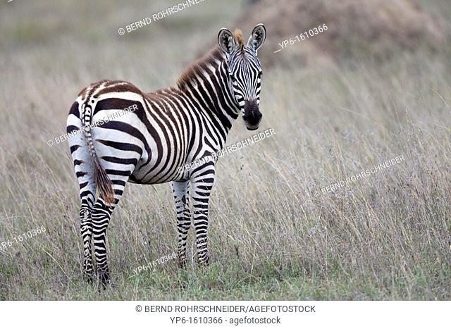 young Plains Zebra Equus quagga, Serengeti National Park, Tanzania