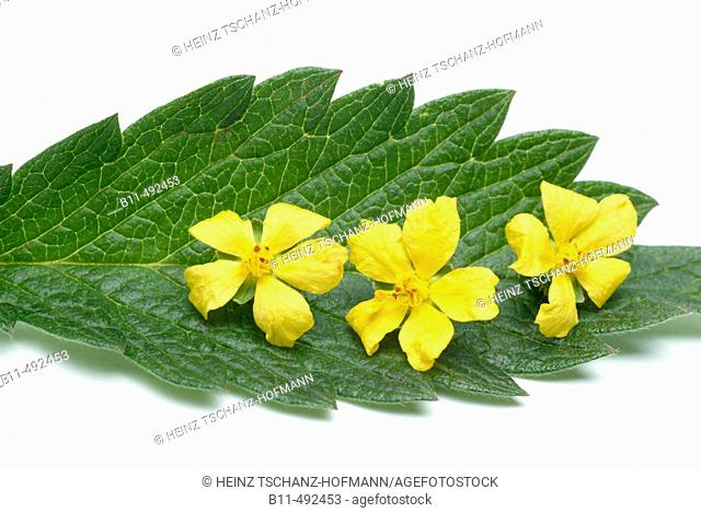 Agrimony eupatoria - medicinal plant: Medical functions: stops bleeding, cardiotonic effect,inhibits Gram-Positive Bacteria