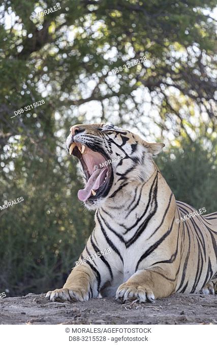 South Africa, Private reserve, Asian (Bengal) Tiger (Panthera tigris tigris), yawning