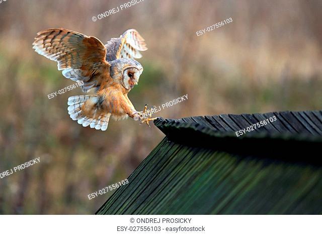 Barn owl, Tyto alba, bird landing on wooden roof