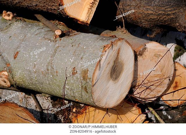 Populus balsamifera, Balsampappel, Balsam poplar, Holz