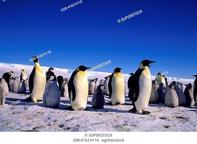 ANTARCTICA, JELBART ICE SHELF, ATKA ICEPORT, EMPEROR PENGUIN COLONY, ICEBERG