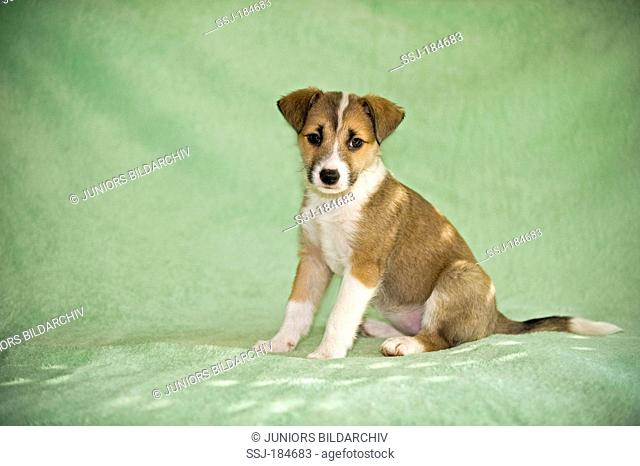 Mixed-breed dog. Puppy (8 weeks old) sitting on a green blanket