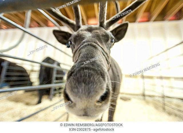 Portrait of a reindeer (Rangifer tarandus)