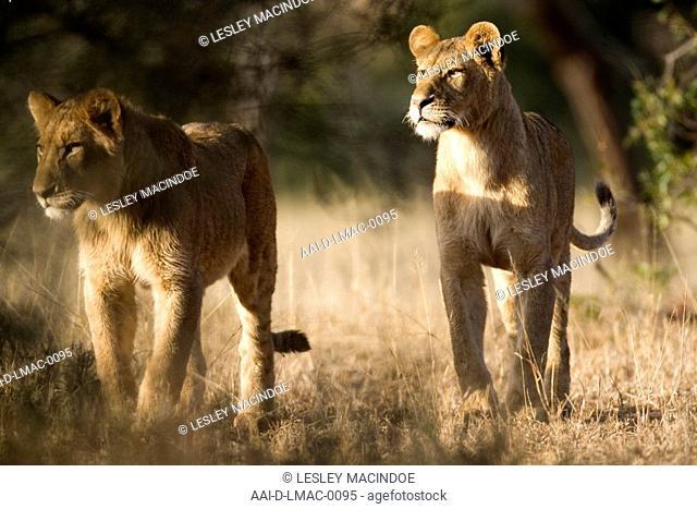 Lionesses, Kruger National Park
