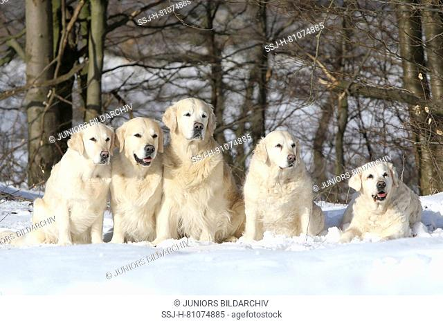 Golden Retriever. Family in snow. Left to right: Female and male 5 years old (grandchildren), male and female 10 years old (children) and grandmother lying 16...