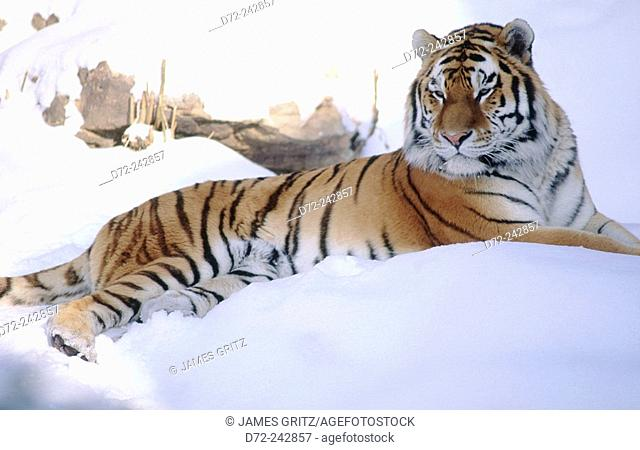 Siberian tiger (Panthera tigris altaica) in snow