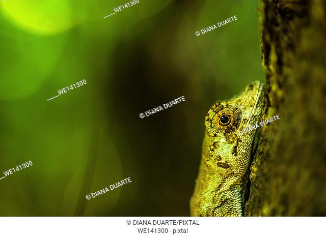 """""""""""Anolis"""" (Anolis),There are species of Lizards that consume only plants and those that consume only meat. It all depends on the type of species"