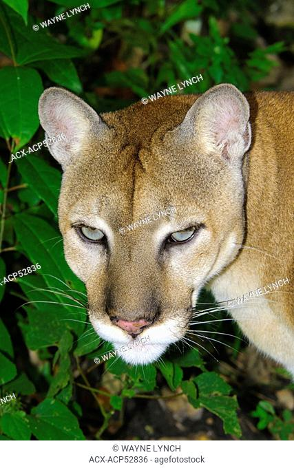 Central american puma Stock Photos and Images   age fotostock