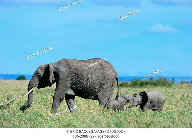 African elephant, 2 calves playing with their trunks next to a female (Loxodonta africana), Masai Mara National Reserve, Kenya, Africa, October