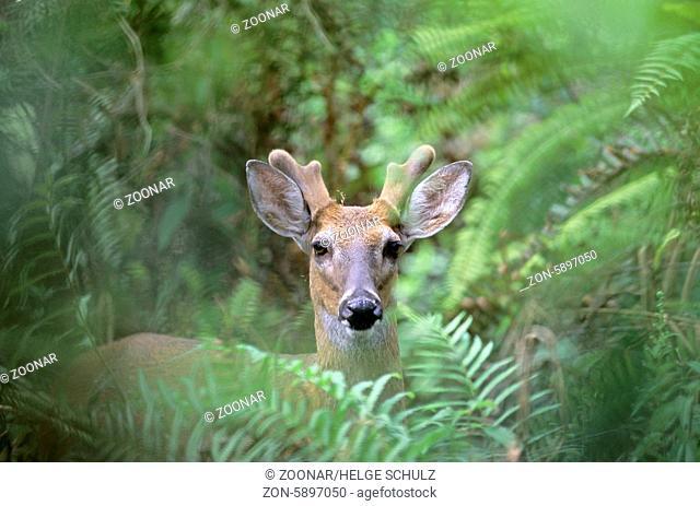 Weisswedelhirsch mit Bastgeweih im Dschungel - (Virginiahirsch) / White-tailed Deer stag with velvet-covered antler in jungle - (Virginia Deer - Whitetail) /...