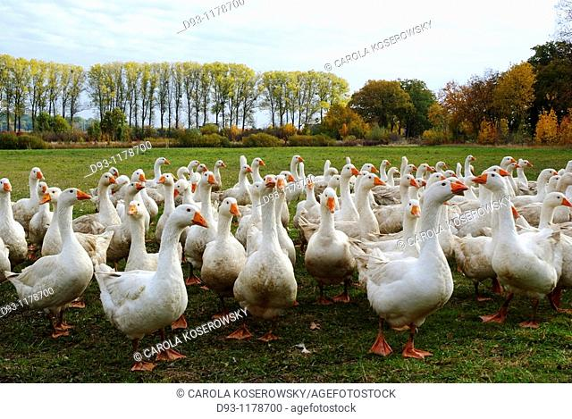 Flock of Geese in autumn landscape