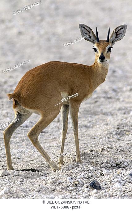Steenbok (Raphicerus campestris) - Safarihoek Lodge, Etosha Heights, near Etosha National Park, Namibia, Africa