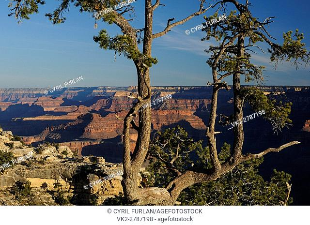 Twisted Pine Growing Amid the Rocky Edge of the South Rim of The Grand Canyon at Mather point