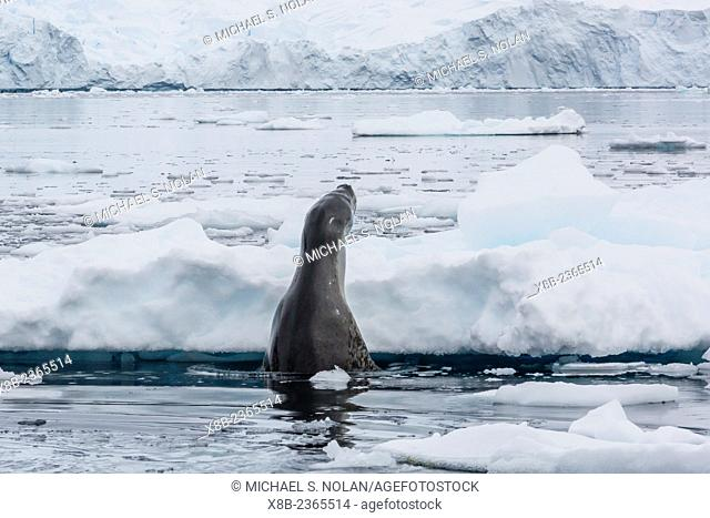 Adult leopard seal, Hydrurga leptonyx, looking for prey in Cierva Cove, on the western side of the Antarctic Peninsula, Antarctica