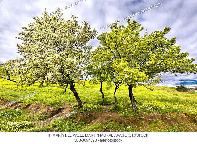 Spring at the almonds trees in Higuera de las Dueñas. Avila. Spain