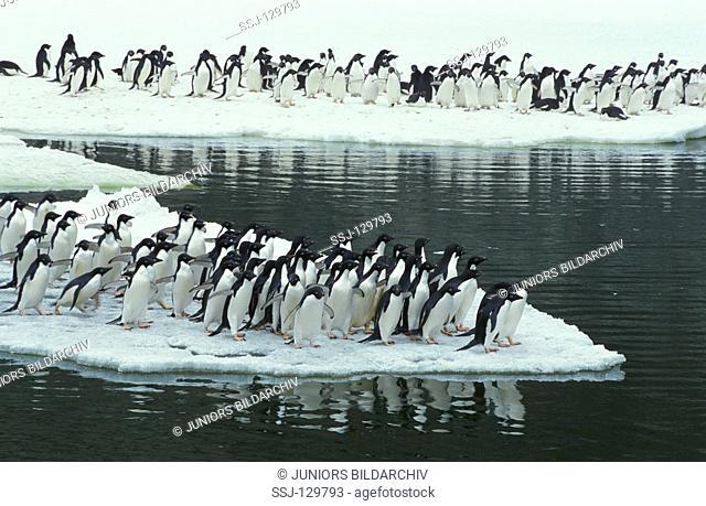 Adelie penguin - colony - Pygoscelis adeliae