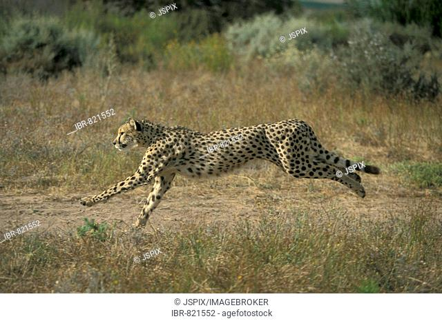 Cheetah (Acinonyx jubatus), adult, running, South Africa